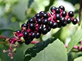 Pokeweed (1000 Seeds) Fresh This Season's Harvest from My Garden