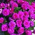 Impatien Seeds- Extra Dwarf- Tom Thumb Purple