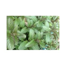 Chocolate Mint Live Plant by Chocolate Mint – Live Plant