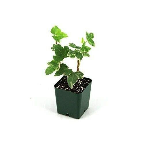 Hedera Helix English Ivy Live Plant Indoor Houseplant 2.5''Pot Garden Best Gift