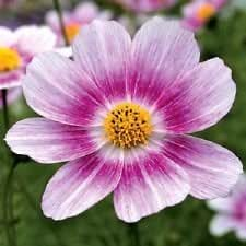 35+ Cosmos Happy Ring / Long Lasting Annual / Drought Tolerant Flower Seeds