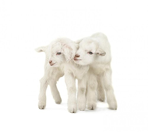 Wallmonkeys Two Goat Peel and Stick Wall Decals WM359565 (18 in W x 16 in H)