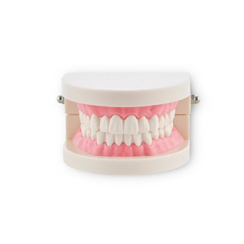 3 opinioni per Denshine Modello Dentale Standard per Dentista, Dente Full-bocca, Non-Staccabile