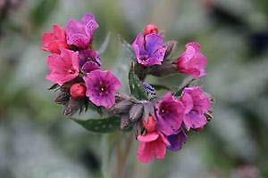 Raspberry Splash Lungwort Perennial - Pulmonaria - Live Plant - Gallon Pot (Pulmonaria Raspberry Splash)