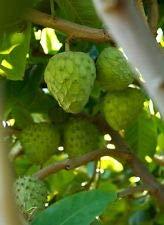 Cherimoya Tropical Fruit Trees