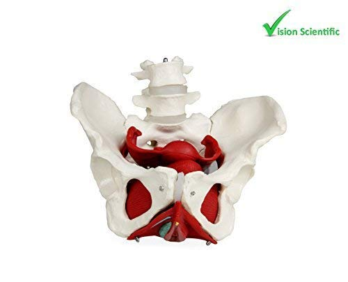Vision Scientific VAP216 Female Pelvis with Organs | Pelvic Floor Muscles and Reproductive Organs | Removable Organs Include Uterus, Colon and Bladder | Includes Detailed Instruction Manual]()