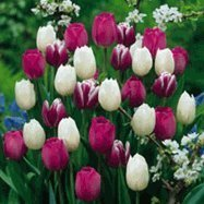 SILKSART 50 Tulip Bulbs Perennial Bulbs for Garden Planting most beautiful and colorful tulip - Most Poplar