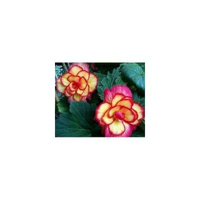 SD1115 Begonia Seeds, Begonia Flower Seeds, Fresh Seeds (50 Seeds) : Begonia Plants : Garden & Outdoor