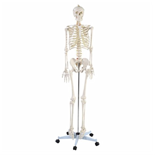 New Life Size Human Anatomical Anatomy Skeleton Medical Model + Stand from UNBRANDED*
