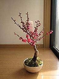紅梅盆栽 梅盆栽 2月頃開花