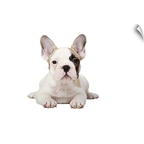 French Pied Bulldog (Canvas on Demand Wall Peel Wall Art Print Entitled Fawn Pied French Bulldog Puppy on White Background. 24