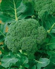Broccoli Waltham 29 Great Heirloom Vegetable Seeds By Seed Kingdom