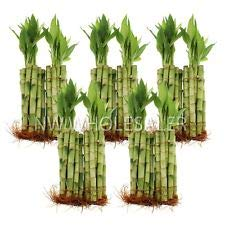 6 Inch Bamboo - 100 Pieces of 6 Inches Straight Lucky Bamboo