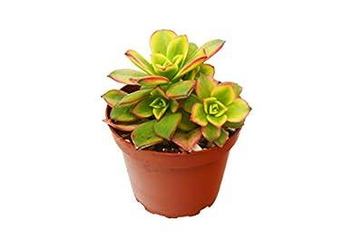 "'Kiwi' Succulent/4"" Pot/Live Home and Garden Plan"
