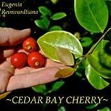 Cutdek ~Cedar Bay Cherry~ Eugenia Reinwardtiana Fruit Tree Potd Live Sml Starter Plant