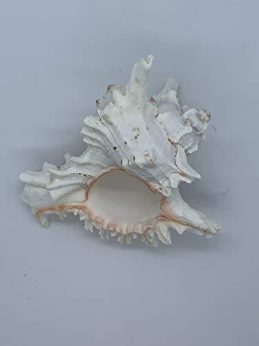 - Aquatic Creations Murex Ramosus Natural Sea Shell Ranging from 2-9.5 inches (9-9.5