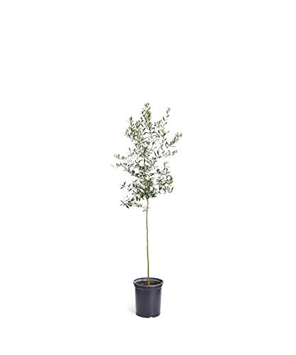 Arbequina Olive Tree 4-5 feet Tall - Get Olives 1st Year with Large Olive Trees - Indoor/Patio Live Olive Trees | No Shipping to AZ (4' Olive)