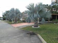 5 Florida Fresh Bismarck Silver Palm Tree Seeds - Bismarckia Silver Nobilisth