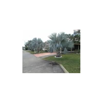 5 FLORIDA FRESH BISMARCK SILVER PALM TREE SEEDS - BISMARCKIA SILVER NOBILISTH : Garden & Outdoor