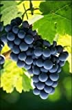 buy Campbell Early Grape Certified 10 Seeds #32010 Item UPC#637632549111 a Concord-like black grape that has big berries and large clusters now, new 2018-2017 bestseller, review and Photo, best price $5.90
