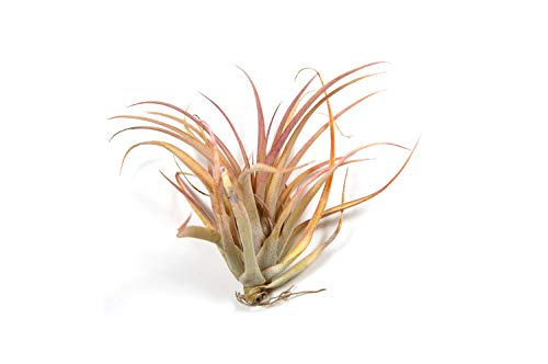 5 Pack of Capitata Peach Air Plants - 30 Day Air Plant Guarantee - 5 Air Plants at a Great Price! - Fast Shipping - Includes Free PDF E-Book By Jody James