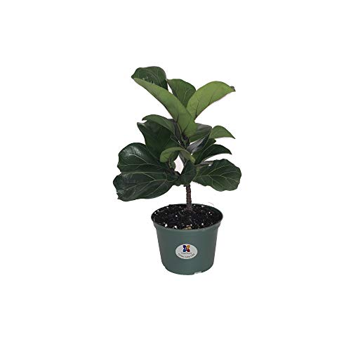 United Nursery Ficus Lyrata Pandurata Plant Fiddle Leaf Fig Live Outdoor Tree Indoor House Plant Ships in 6 inch Grower Pot at 12-16 Inches (Best Soil For Fiddle Leaf Fig)