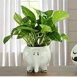 Beautiful Indoor Money Plant With white Ceramic Elephant pot (Live Green)