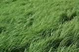 Teff Grass Seed (Annual Warm Season, Great Horse Hay) - 1 Pound - Wizard Seed LLC