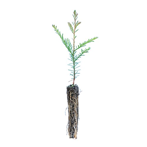 Coast Redwood | Live Tree Seedling (Small) | The Jonsteen Company