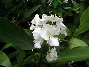 Amazon Fragant Butterfly Bush White Ginger Flower Root