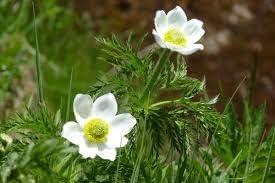Amazon.com: 20 semillas de pulsatilla alpina, flores de ...