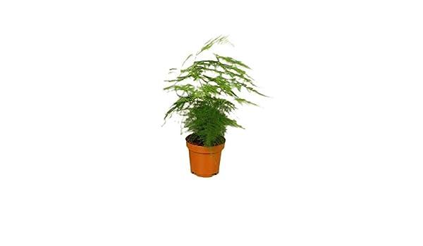 Verdecora - Esparraguera: Amazon.es: Jardín