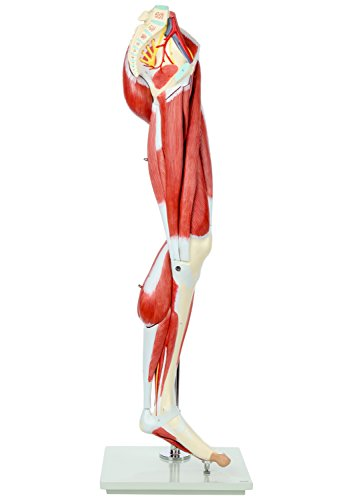 Axis Scientific Leg Model | Muscle Anatomy Model Has 12 Removable Leg Muscles | Muscle Model Details Muscles, Arteries & Veins | Mounted to Base and Includes Detailed Product Manual | 3-Year Warranty