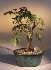 Bonsai Boy's Flowering Mimosa Bonsai Tree - Large leucaena glauca