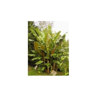 Musa sikkimensis Hardy Banana Exotic Seeds! : Garden & Outdoor