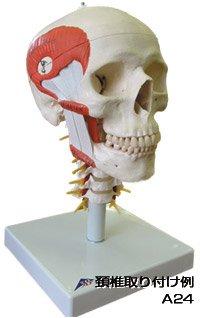 3B社 頭蓋骨模型オプション 頭蓋骨模型への頚椎取付オプション (zop-s)   B003Z2SFOI