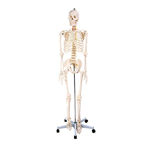 Anatomy Skeleton Model, Life Size Medical Human Anatomical Model, with Dust Cover Durable Removable Stand and Base (67