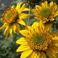 David's Garden Seeds Sunflower Bush American Native 0039 (Yellow) 500 Non-GMO, Open Pollinated -