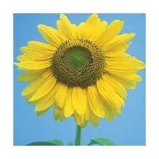 77 Sunflower - 2