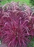 Romence Gardens, Proven Winners Pennisetum setaceum 'Fireworks' (Variegated Red Fountain Grass)