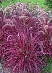 (Romence Gardens, Proven Winners Pennisetum setaceum 'Fireworks' (Variegated Red Fountain Grass))