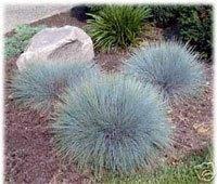 100 BLUE SHEEPS FESCUE GRASS Fesnea Ovina Glauca Aestivum Seeds by Seedville (Blue Fescue Seed)