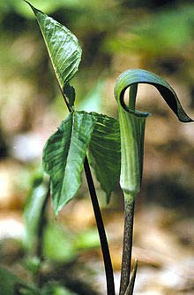 10 Seeds Arisaema Intermedium - Cobra Lily Plant