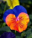 Saavyseeds Sunburst Pansy Seeds - 35 Count