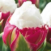 Double Flowering Tulip - 7
