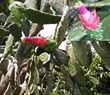 1 CUTTING of Opuntia Ficus Indica Prickly Pear Cactus