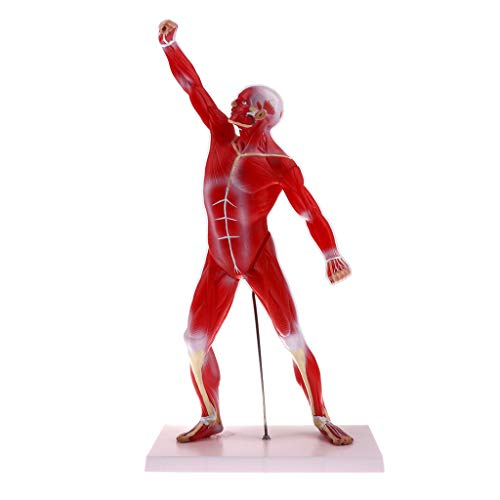 B Blesiya Anatomical Human Muscular Figure Model 1/4 Life Size, 20''