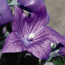 40+ Violet Platycodon Balloon Flower Perennial Flower Seeds