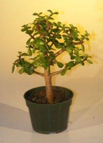 Amazon Com Pre Bonsai Baby Jade Bonsai Tree Medium Portulacaria Afra Bonsai Plants Grocery Gourmet Food