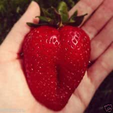 Free Post Australia Giant Strawberry Super Sweet Juicy Red Strawberry Seeds Seed